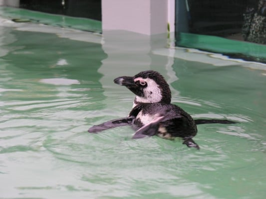 Penguin at Mystic Aquarium Institute for Exploration