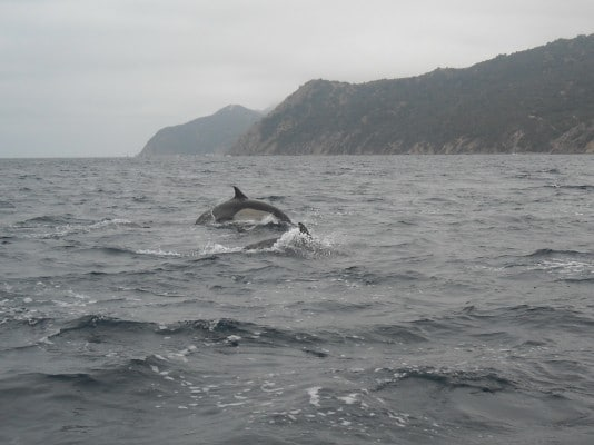 Dolphins off Catalina Island