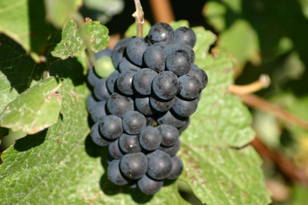 Pinot Noir grape cluster