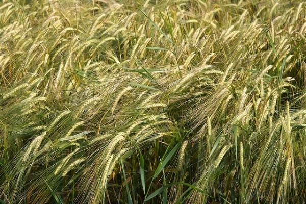 Grain by Peter Pearson