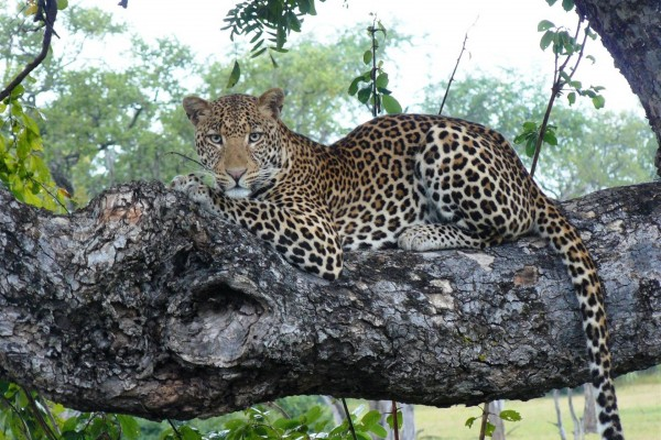 Leopard in a tree. Photo by Norman Carr Safaris