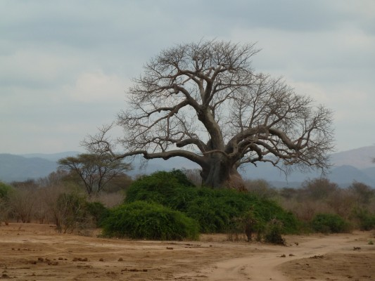Baobab Tree in Zambia. Photo by Susan Lanier-Graham