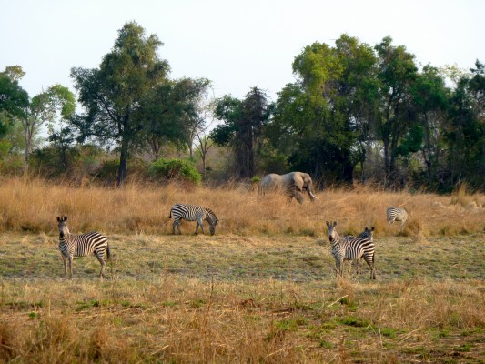 Zebras and elephants in South Luangwa NP by Susan Lanier-Graham